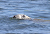 Gray Seal, also called a Horse Head seal, Popham at the mouth of the Kennebec River, Phippsburg Maine. Popham hosts hundreds of seals in the early spring. They are there to breed and fish for the river herring that are swimming up the rivers to spawn.