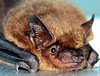 Little Brown Bat, flying mammal, Phippsburg Maine close up