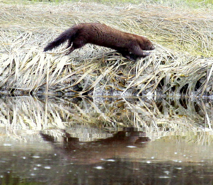 Fisher, largest member of the weasel family in Maine. This one was scampering along the shore line of a Salt Marsh. I was there taking bird photographs and had been staining still for a long time. The fisher didn't see me, nor hear me. I was downwind, also, so it never smelled me. These are elusive creatures so I was very surprised when it popped up!