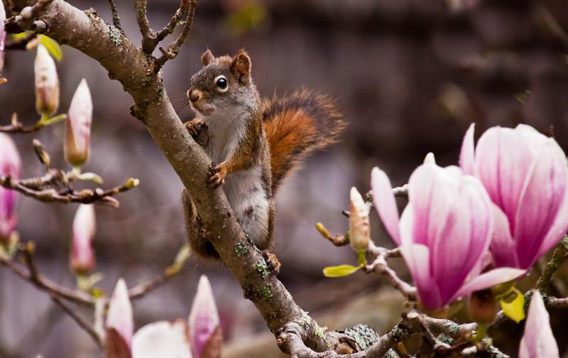 Red squirrel in magnolia, Phippsburg Maine