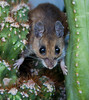 Field Mouse on cactus, in my greenhouse, Phippsburg, Maine