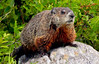 Woodchucks, also called Groundhogs in Maine, are a common wild animal on the east coast. They dig deep burrows in the ground which disrupts soils and can undermine structures like building foundations. They are voracious vegetarians that can decimate gardens. Woodchucks hibernate in winter.