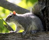 Gray Squirrel, a wild rodent in Maine, Phippsburg Maine Sagadahoc County
