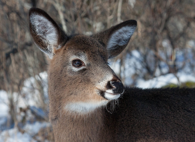 White-tailed deer on Hermit Island, Phippsburg Maine