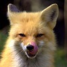 Renard The French Kisser Red Fox