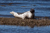 Harp Seal, Phippsburg, Maine