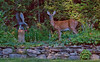 White Tailed deer in one of my coastal Maine Phippsburg gardens with iron statue, the doe was eating my asters. GGGGrrrr!