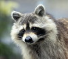raccoons are cute when they are young, but  dangerous when they are older. They are clever, persistent problem solvers that can be very aggressive in their search for food. Phippsburg Maine wild animal