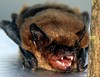 Little Brown Bat Snarl