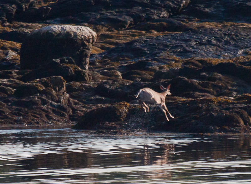 White Tailed deer leaping out of water. This deer swam across Small Point Harbor from West Point to Bailey Point. That's the Atlantic Ocean and it is about a mile across.