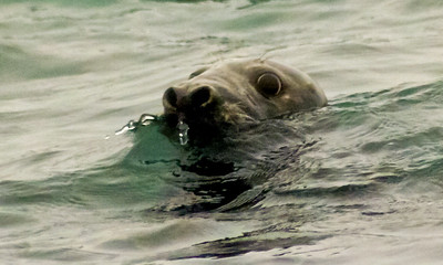 Harbor Seal blowing bubbles to clear its nose on coming out of the water, Phippsburg, Maine at Popham Beach