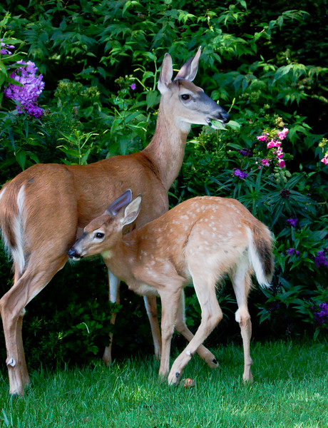 doe and fawn in coastal Maine Phippsburg garden fawn nuzzling mother to suckle, summer, wild animals