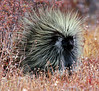 Porcupine are also caled Quill Pigs, Maine wild animal, October