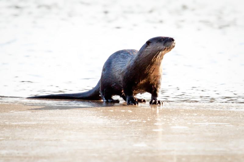 Otter Look