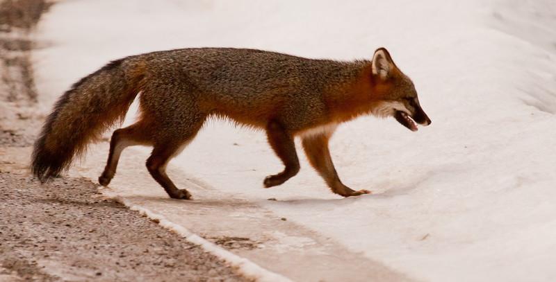 Grey Fox, Phippsburg, Maine side view, snow