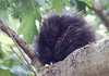 Porcupines can be destructive. They will chew on any wood, including parts of your house! They are especially attracted to surfaces with salt. Maine has abundant porcupines. This is a baby porcupine photographed sleeping in an oak tree  at the Wilbur Preserve on Cox's Head, Phippsburg, Maine