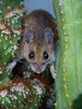 Field mouse in cactus in my greenhouse, Phippsburg Maine