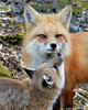"""Red Fox """"Kiss Me!"""""""