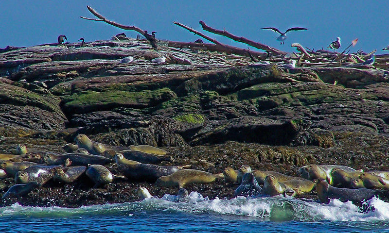 Seals & Birds On Rocks