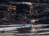 White-tailed deer climbing out of waters of the Atlantic Ocean. The doe swam from West Point to Bailey Point across Small Point Harbor and the southern end of Totman Cove, Phippsburg, Maine. Deer swim very well and look like a big dog in the water. They even shake like a dog when they are back on land to get the water off themselves.