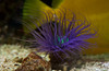 purple tentacles of sea anemone with turquoise center, salt water tank, Rockland Maine