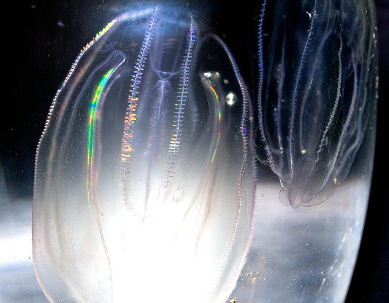 Comb Jelly fish, a voracious, aggressive species indigenous to coastal Maine waters, Phippsburg, Maine. Though blind and slow, this species wipes out whole ecosystems where it presents. The jellies, also called Sea Walnuts, are 3-4 inches long.