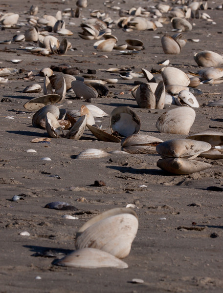 Hen Clam shells on Seawall Beach, Phippsburg, Maine, January