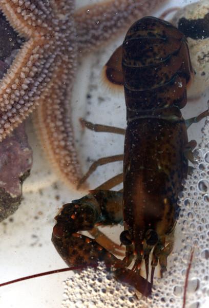 Star Fish & Baby Lobster Underwater, Maine