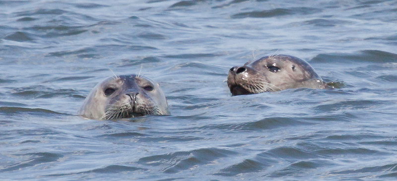 Harbor seals swimming, face to face, frontal view close up, Phippsburg, Maine, Popham on the Kennebec River at the river mouth, Atlantic Ocean