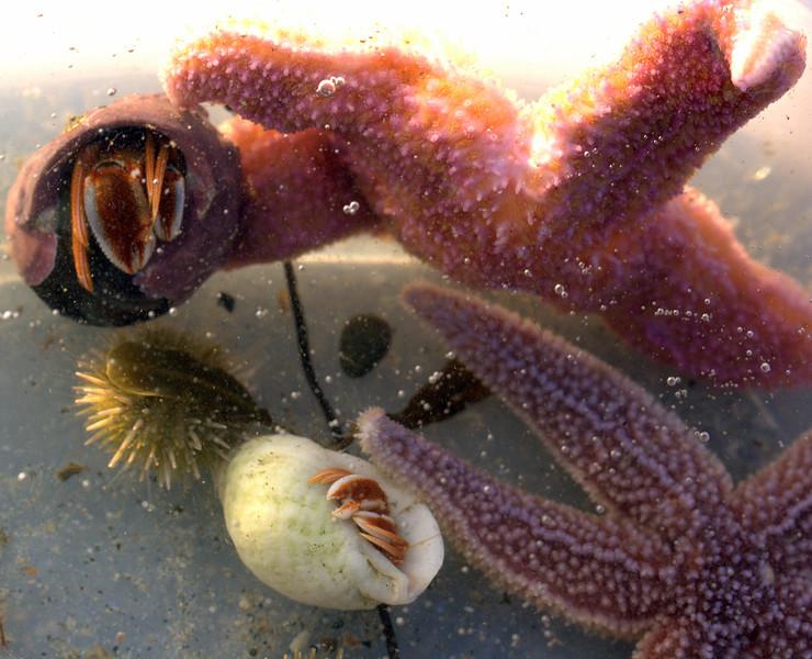 Marine Life Collection Underwater, Hermit Crab, Sea urchin, Star Fish, Phippsburg, Maine