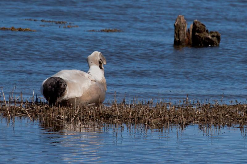 Lolling Harp Seal