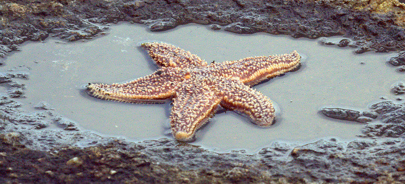 Starfish, Maine