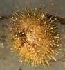 Sea Urchin Underwater, Phippsburg, Maine