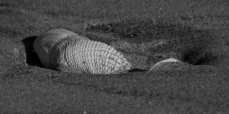shells in sand with detailed ripples in shells, black and white, Phippsburg, Maine