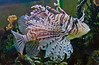 lion fish in salt water aquarium, Rockland Maine, live fish tropical, aggressive