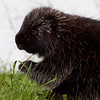 young Porcupine eating grass, close up, side view (has a engorged tick on its face), mammal Phippsburg, Maine
