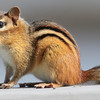 Chipmunk close up