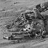 White-tailed deer carcass, Seawall Beach, Phippsburg Maine