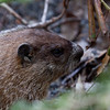 Woodchuck, groundhog close up