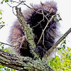 Baby porcupine in a tree