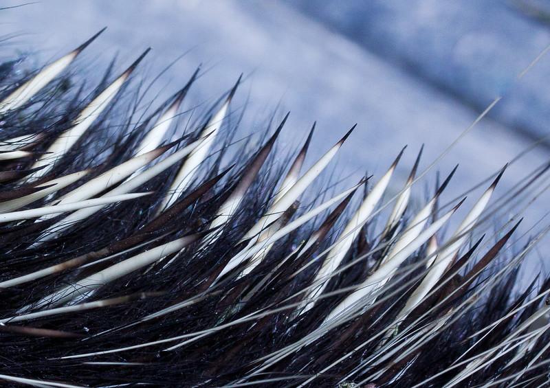 Porcupine quills close up