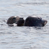 Harbor seals nuzzling, Popham Beach, Phippsburg Maine, Kennebec River, May