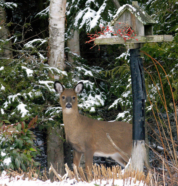 Young White-tailed deer peeking out from behind a bird feeder in my Phippsburg Maine coastal garden
