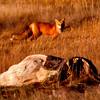 Red fox at sunset, Popham marsh, Atkins Bay Phippsburg Maine