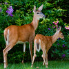 Doe and fawn, Maine wildlife
