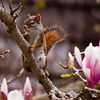 Red squirrel female in magnolia