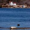 Harp seal bull basking on the Kennebec River Phippsburg Maine with the Squirrel Point Lighthouse on the opposite shore, Arrowsic Maine