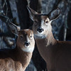 White-tailed deer, doe and fawn on Hermit Island, Phippsburg Maine