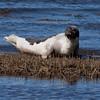 Rare Harp seal bull, Phippsburg Maine