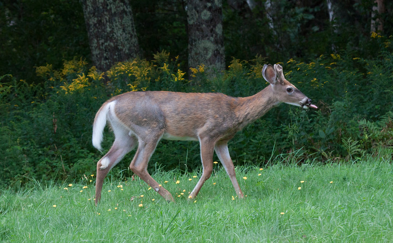 White-tailed deer buck with velvet antlers. Though not a baby, nor fawn any longer, this is a youngster, probably born in the spring. Phippsburg Maine late  August